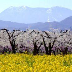 Cherry blossom at Obuse Nagano