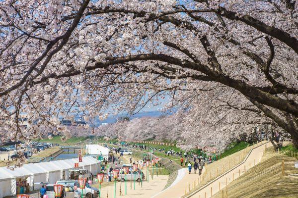Asahigawa Sakura-Michi Walk Okayama Japan