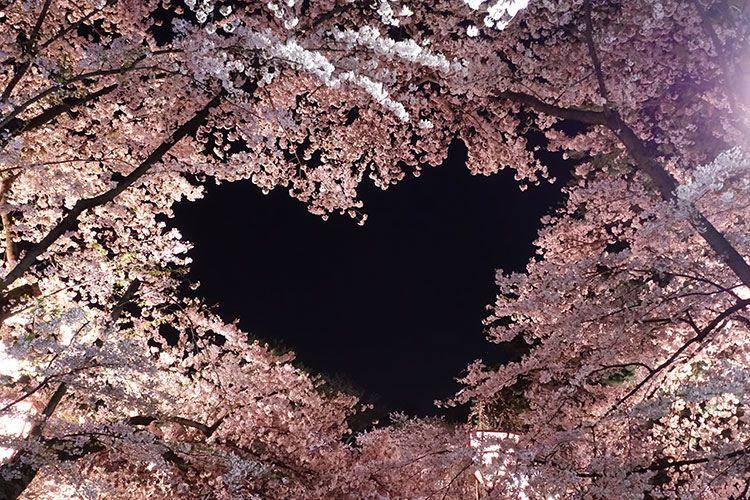 Hirosaki Park Heart Shape Cherry Blossom Aomori Japan