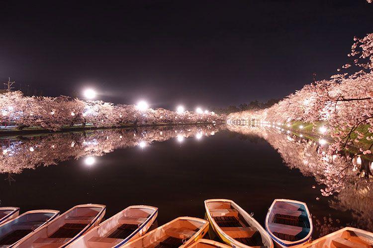 Hirosaki Sakura Matsuri Night Time Light Up Hirosaki Aomori