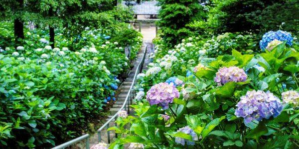 Kibitsu-Shrine-Hydrangea-Garden-Okayama-Japan