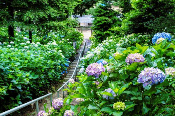 Kibitsu Shrine Kydrangea Garden Okayama Japan