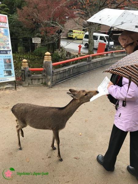 Deer In Miyajima Japan