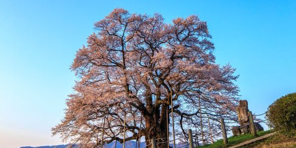 Daigo-Sakura-Maniwa-Okayama-Japan