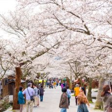 Gaisen-Zakura-Street-Shinjo-Okayama-Japan