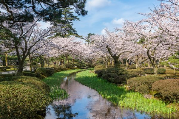 Kenrokuen-Garden-Cherry-Blossom-Kanazawa-Ishikawa-Japan