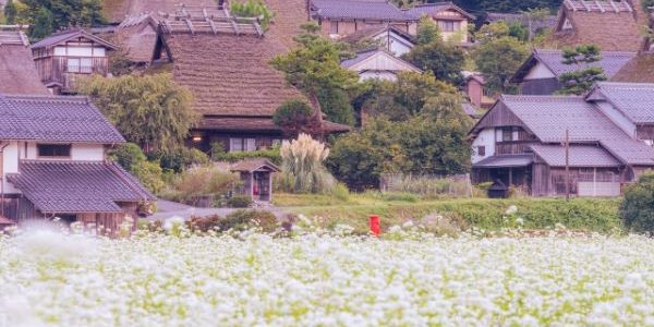 Miyama-Kayabuki-no-Sato-Soba-Field-Nantan-Kyoto-Japan